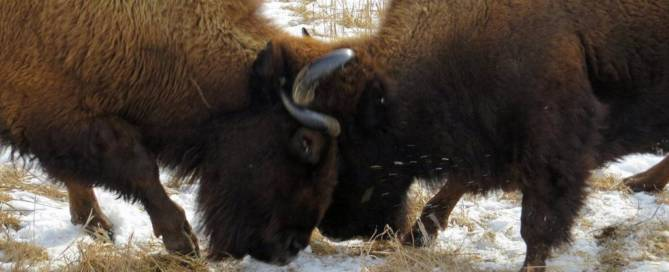 Bison Disagreement